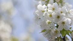 postcard (monorail_kz) Tags: blue wallpaper sky white apple spring blossom postcard april 169 kazakhstan almaty helios442
