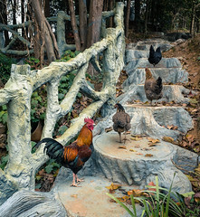 Chickens on Stairs (chaojiansong) Tags: china travel chicken village  guizhou ricoh ricohgr  guangxi  qiandongnan xijiang