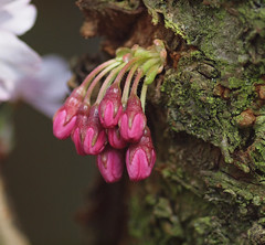 Flower buds at the stem of a Japanes Cherry tree. (Bienenwabe) Tags: flower macro nature natur bud prunus flowerbud kirsche zierkirsche prunusserrulata japanischebltenkirsche japanischezierkirsche amygdaleae steinobstgewchse