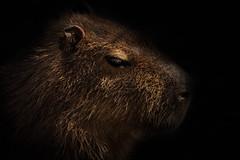Capybara side profile (lesage1981) Tags: nature mammal profile capybara