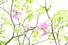 IMG_8783 -  Kwai Fong (Mak_Ho) Tags: flower canon photography hongkong vegetation    newterritories    kwaifong  tabebuiarosea 700d    kwaifongestate  kwaionhouse