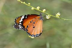 Plain Tiger Butterfly (Ma3eN) Tags: butterfly tiger uae plain 2016