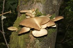 Pleurotus ostreatus (Nick Dean1) Tags: mushroom toadstool pleurotusostreatus