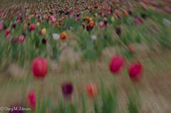 CMJ_3085 (cmj_rnrgrl) Tags: flower lensbaby virginia tulips farms haymarket burnside lensbabysweet56