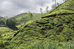 For A Nice Cuppa (gecko47) Tags: india industry tea terraces kerala hills crop plantation agriculture bushes horticulture shrubs munnar contours landuse camelliasinensis