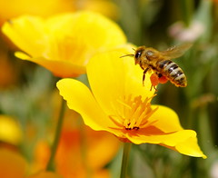 Honey bee in flight (maria xenou - photodromos) Tags: sunlight plant motion home nature colors closeup garden insect moments details natur bee landing greece wildflower insekt garten farben biene landung sonnenlicht pollensacs momente     californiapopies