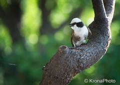 African bird (KronaPhoto) Tags: africa tree bird nature tanzania dof bokeh natur safari fugl tre