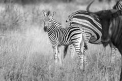 Photobombed (Sheldrickfalls) Tags: southafrica zebra krugernationalpark mpumalanga krugerpark wildebeest kruger plainszebra burchellszebra bluewildebeest zebrafoal babyzebra