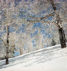 New frost (threepinner) Tags: trees snow ski japan spring hokkaido frost skiing   biei hokkaidou   northernjapan   mountainsnaps  mtmaruyama taisetsunationalpark