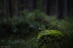[the silent forest] (- Man from the North -) Tags: trees plant green nature forest finland dark moss spring nikon moody silent naturallight silence zenit westcoast manualfocus naturephotography ostrobothnia manuallens nikond7000 zenit40285mmf15