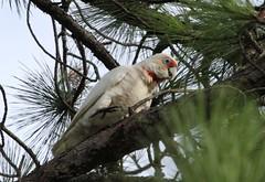 Long -billed Corella (Robbie Guarino) Tags: bird cockatoo corella