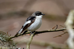Pied Flycatcher (Steve Birt) Tags: uk summer white black bird nature birds wales canon britain united great reserve kingdom 300mm 7d flies pied f28 mkii flycatcher migrant gilfach ficedula hypoleuca x14