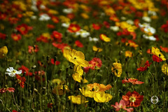 Planar 50mm 1.4 (Ney Bokeh) Tags: flowers dof bokeh 50mm14 mf cy planar carlzeiss