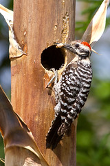 IMG_0279 Male Ladder-backed Woodpecker (lois manowitz) Tags: arizona birds tucson woodpeckers nests