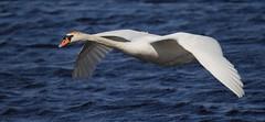 MUTE SWAN (Bradders62) Tags: southwest nature birds swan wildlife sigma somerset muteswan rspb wildbirds britishbirds somersetlevels hamwall canon7d sigma150500mmf563dgoshsmlens
