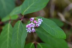 Common Snowberry (ajblake05) Tags: plants canada flower britishcolumbia northamerica coquitlam lowermainland greatervancouver caprifoliaceae symphoricarposalbus minnekhadaregionalpark commonsnowberry