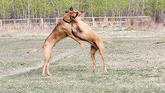 Double Bite (brettswift) Tags: dog calgary enzo
