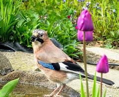 Wem streckt er die Zunge raus? (Fotoamsel) Tags: tiere natur garten vogel imgarten eichelhher durcheineglasscheibe