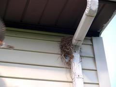 P4262058.jpg (MizGingerSnaps) Tags: usa birds virginia spring robins april williamsburg projects 2016 intheyard robinsnext