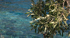 la mer et les olives  (BY-ND-SwitchMed) (agri.durable) Tags: olives durable