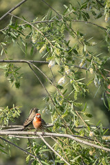 Day 120: Love Birds (adamsarasin) Tags: nature leaves birds finch housefinch