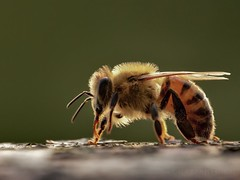 In the evening light...!! (katjakarumoholm) Tags: macro nature closeup insect flickr bee eveninglight macrodreams