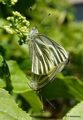 Butterflies (ditmaliepaard) Tags: sony butterflies vlinders a6000 inmijntuin