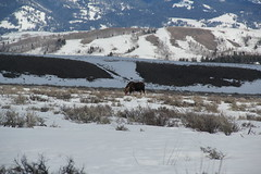 Moose in the park 1 (Aggiewelshes) Tags: travel winter snow mountains landscape scenery moose april wyoming jacksonhole grandtetonnationalpark 2016 gtnp