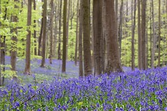 Fairy tale scenery (jacques_teller) Tags: wood flowers trees brussels bluebells forest landscape 50mm spring nikon colours dof tales fairy dreams trunk flowering hallerbos muscaris boisdehal d7200