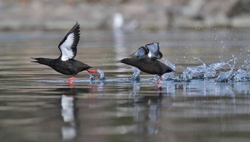 Black Guillemots taking off