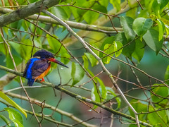 Blue-eared Kingfisher (WilliamPeh) Tags: blue wild bird birds animal outdoor wildlife birding olympus explore kingfisher omd eared em5