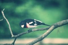 Rose Breasted Grosbeak (karma (Karen)) Tags: home birds backyard maryland baltimore rosebreastedgrosbeak