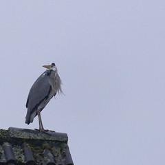 Reiher Sturzflug - Heron Nosedive - 002_Web (berni.radke) Tags: heron reiher nosedive sturzflug
