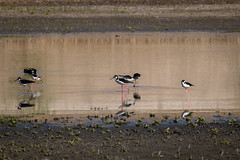 RanchoSanJoaquinWildlife-4 (rskim119) Tags: ca lake bird nature animal pond nikon san outdoor wildlife joaquin marsh tamron sanctuary irvine rancho stilt 70300 irwd d3300