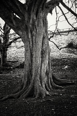 20160117-0007-Edit (www.cjo.info) Tags: park winter blackandwhite bw plant tree monochrome digital garden scotland blackwhite flora edinburgh europe pentax unitedkingdom software newtown citycenter technique europeanunion londonroad westerneurope bayonet autofocus pentaxk londonroadgardens pentaxk01 silverefexpro royalterracegardens silverefexpro2 smcpentaxda40mmf28xs nikcollection