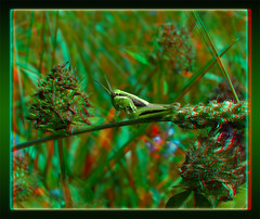 Melanoplus Bivittatus, Two-Striped Grasshopper Nymph 1 - Anaglyph 3D (DarkOnus) Tags: macro closeup insect stereogram 3d pennsylvania anaglyph panasonic stereo grasshopper nymph stereography buckscounty melanoplus bivittatus twostriped dmcfz35 darkonus