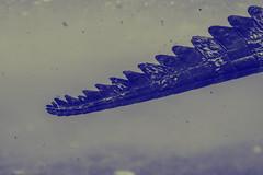/ (maniscalchi) Tags: zeiss philippines crocodile d600 filippine