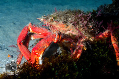 Spider Crab (ShaunMYeo) Tags: night diving scubadiving gibraltar calpe underwaterphotography nightdive  gibilterra ikelite campbay      gibraltr  cebelitark gjibraltar ibraltaro hibraltar xibraltar giobrltar gibraltrs gibraltaras ibilt