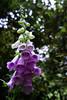 Foxglove DSC05579-23 (jasonclarkphotography) Tags: newzealand christchurch sony tasman nex nelsonlakesnationalpark canterburynz lakerotoroa nex5 jasonclarkphotography