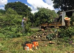 The great chainsaw massacre . . . (ericrstoner) Tags: braslia chainsaw fabaceae distritofederal heartwood paubrasil brazilwood caesalpiniaechinata pernambucowood 216sul