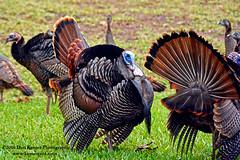 Turkey Fest (Krnr Pics) Tags: bird turkey florida feather crescentbeach staugustine krnrpics kernerpics