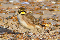Shorelark_82A9085 (kevinmayhew62) Tags: birdwatcher shorelark northnorfolkcoast thornhamharbour