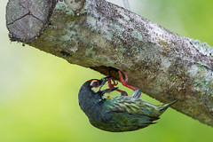 Coppersmith Barbet (MEphotog) Tags: park wild birds singapore nesting pasir coppersmith ris barbet