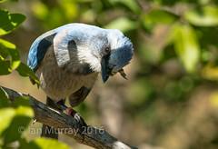 IMG_5268 Endangered Cape Coral Scrub Jay (Wallace River) Tags: florida endangered scrubjay capecoral