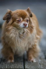 0G4H5340 (sswee38823) Tags: dog pet chihuahua animal canon longhair depthoffield honey canonef135mmf2lusm ef135mmf2lusm canoneos1dsmarkiii canon1dsmarkiii