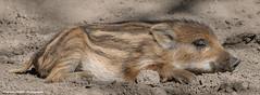 Little wild boar sleepy (Ignacio Ferre) Tags: jabalí susscrofa rayón wildboar cerdo swine pig mammal mamífero sleeping sleepy nikon ngc animal piglet cerdito lechón