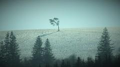 CSC_0721 (La Magie Du Moment) Tags: nature montagne hiver neige paysage extérieur arbre froid sapin monts tordu hauteur penché