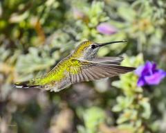Powder (vgphotoz) Tags: arizona macro green bird nature inflight nikon hummingbird ngc powder nikkor vgphotoz