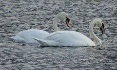 Mute Swans (chdphd) Tags: swan muteswan cygnusolor cygnus olor