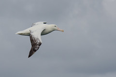 They call me the Wanderer (Tim Melling) Tags: georgia south flight wandering albatross diomedea exulans timmelling